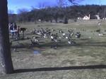 Fowl 1